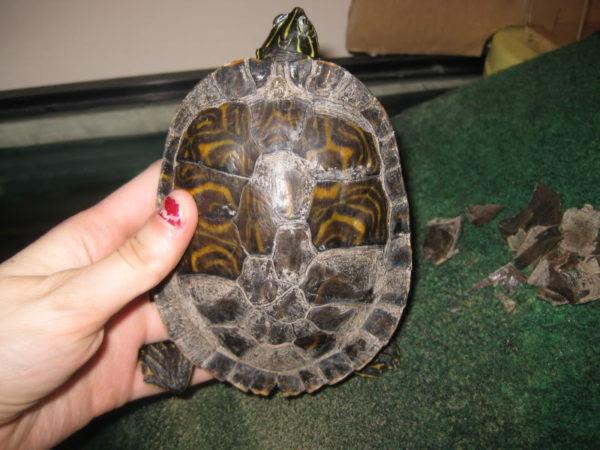 Отслаивается панцирь у черепахи