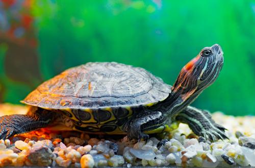 красноухая черепаха вытягивает шею