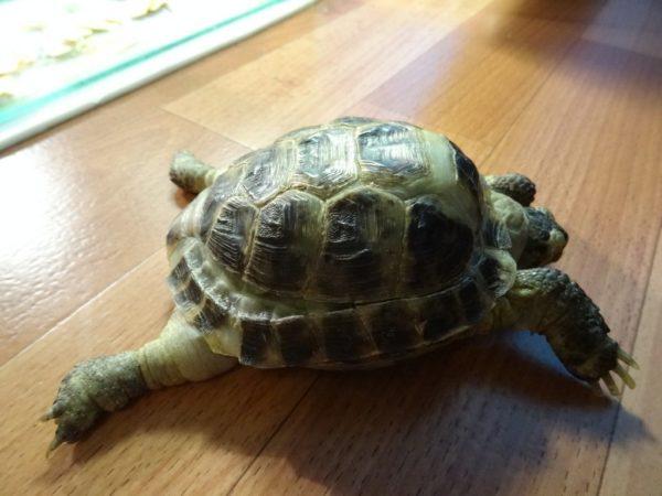 Деформация панциря и отказ задних конечностей у черепахи при рахите