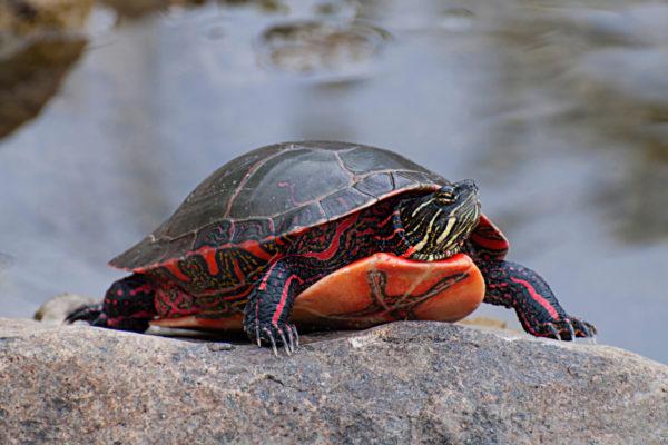 Пресноводная расписная черепаха