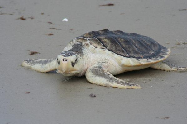 Морская черепах Ридлея занесенная в Красную Книгу