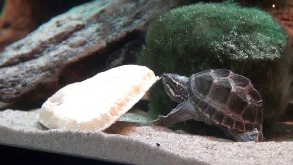 Сепия для черепахи