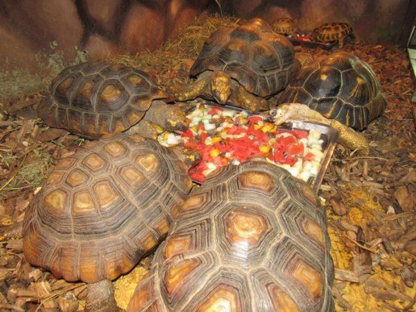 Сухопутная Лесная черепаха занесенная в Красную Книгу