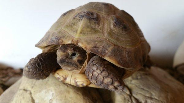 Среднеазиатская черепаха занесенная в Красную Книгу