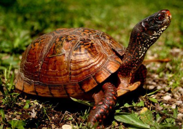Линька у сухопутной черепахи