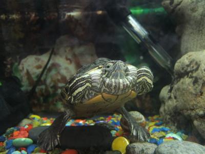 Вздутие живота у красноухой черепахи