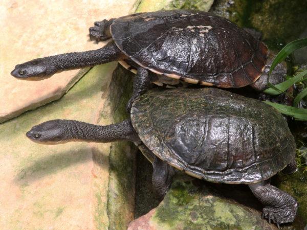 Змеиношейные австралийские черепахи