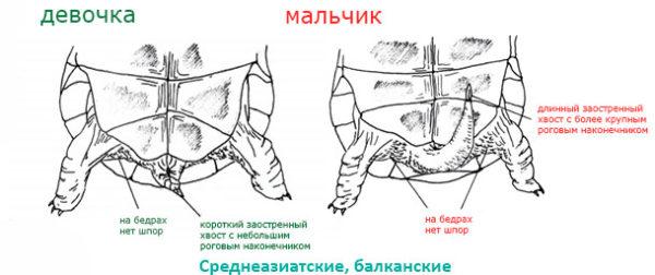 Отличие у самца и самки черепахи бедренными шпорами