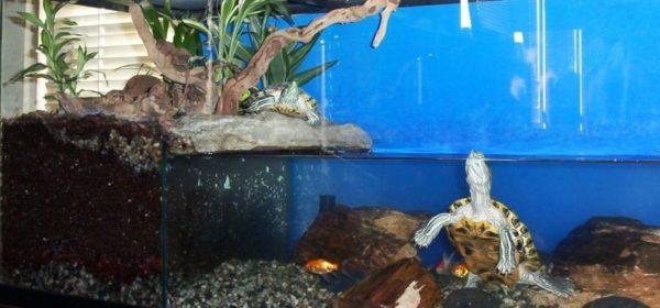 Красноухие черепахи плавают в аквариуме