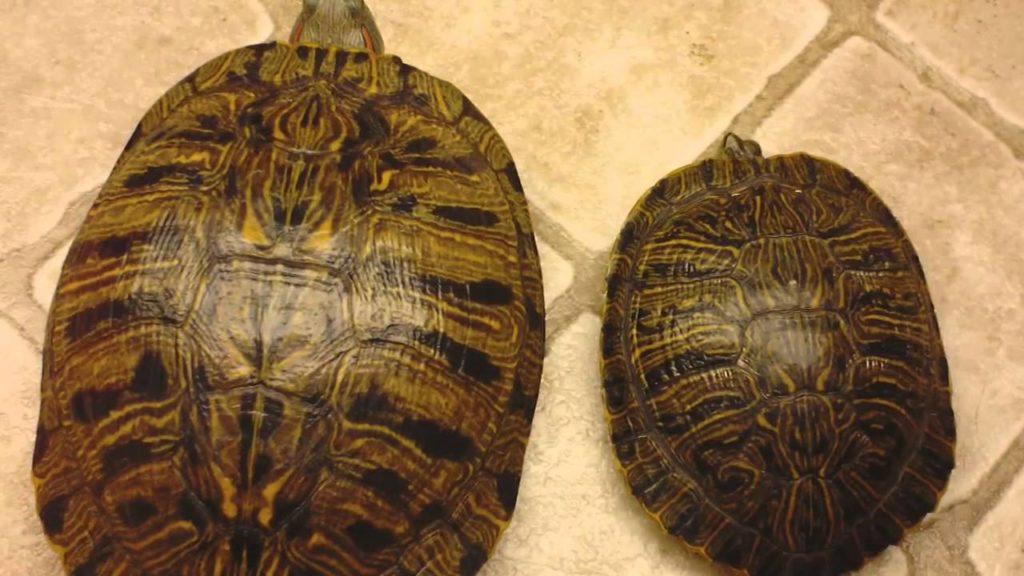 Черепаха красноухая самка и самец