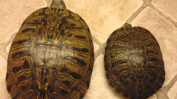 Как отличается размер у самки и самца черепахи