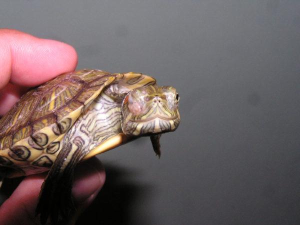 Красноухая черепаха с одним опухшим глазом
