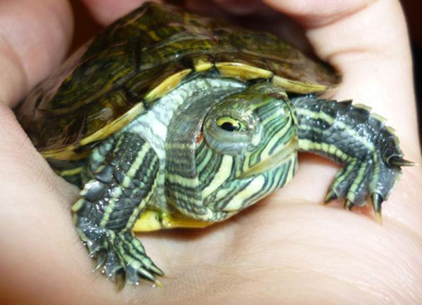 Опухание глаз у красноухой черепахи