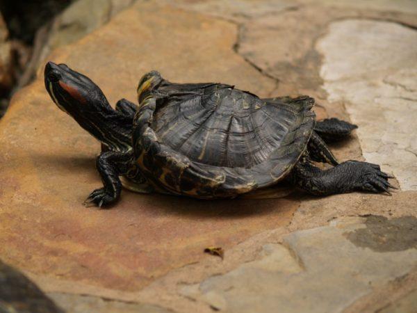 Паралич задних конечностей у красноухой черепахи при рахите