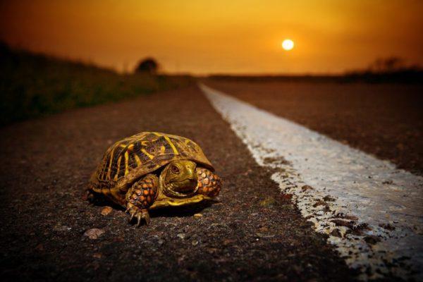 Черепаха ползет вдоль дороги