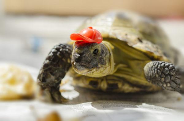 Черепаха в кепке