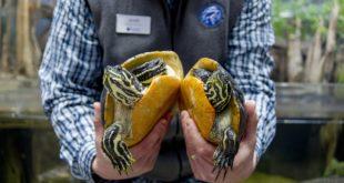 Мужчина держит в руках двух красноухих черепах