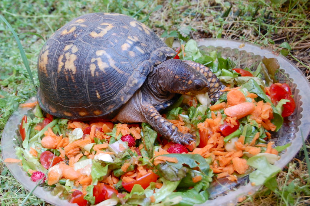 Черепаха ест сочный корм