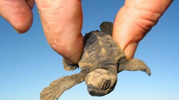 Самая маленькая морская черепаха