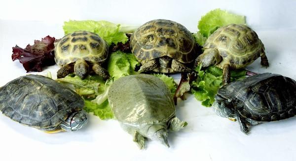 Сухопутные и пресноводные черепахи