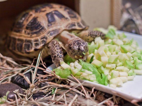 Сухопутная черепаха ест из миски