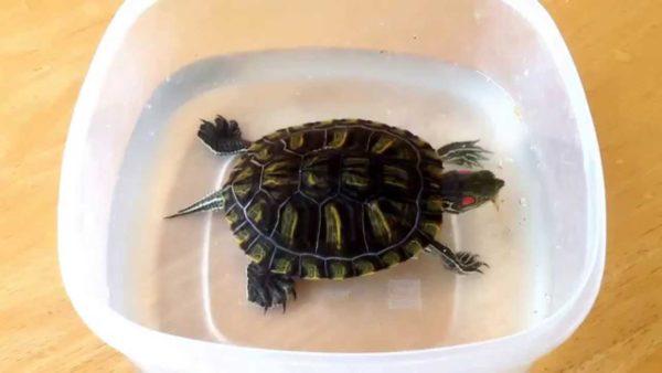 Самодельный отсадник для красноухой черепахи