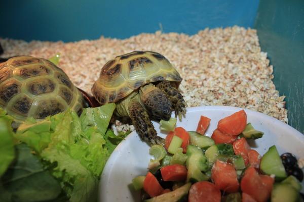 Черепахи едят из миски