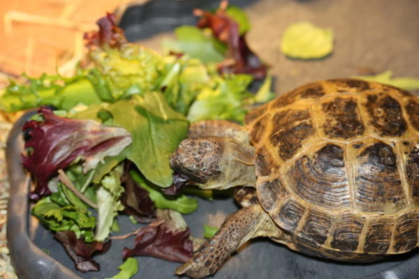 Сухопутная черепаха ест