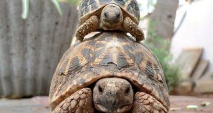 Черепаха большая и маленькая