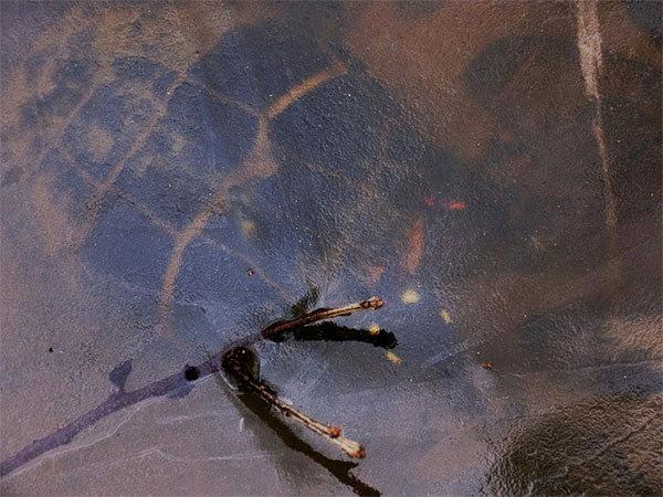 Пресноводная черепаха в зимней спячке под льдом