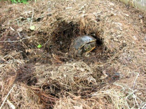 Черепаха вылазит из норы после зимней спячки