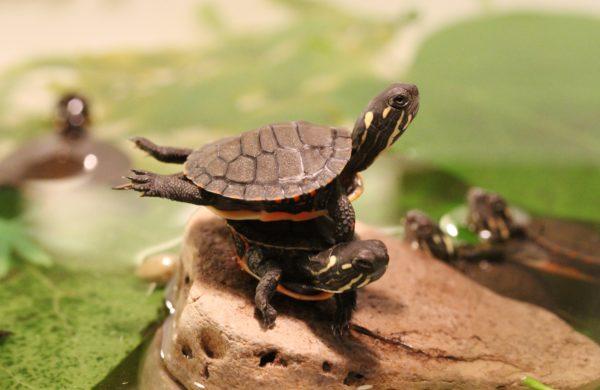 Черепахи выбрались погреться на солнышке