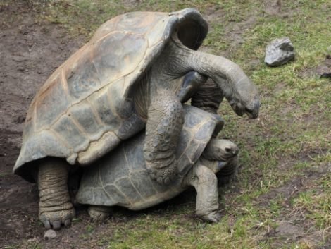 Черепаха Джонатан и его подруга Федерика