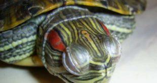 Воспаление глаз у красноухой черепахи