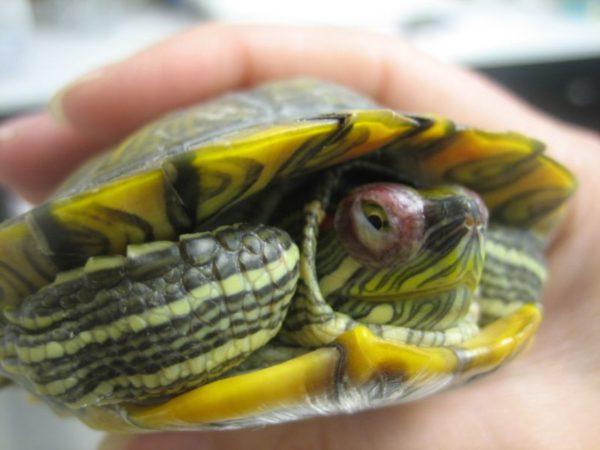Болезнь глаз у красноухой черепахи
