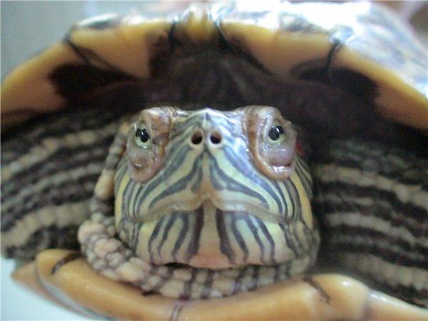 Отек век у черепахи при конъюнктивите