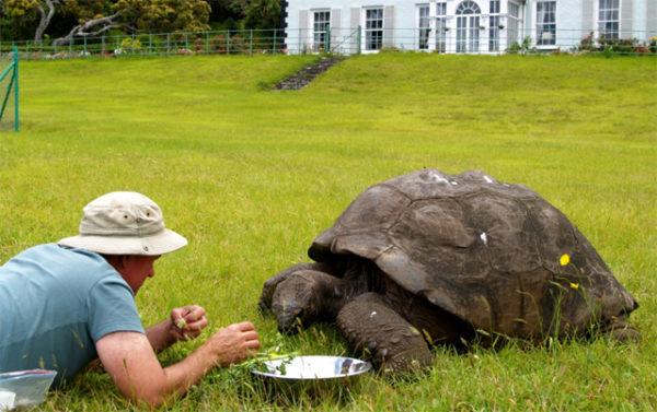 Черепаха Джонатан ест