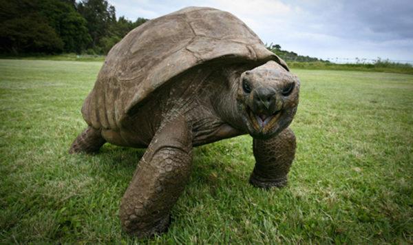 Джонатан гигантская черепаха