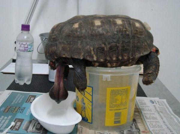 Половой член черепахи