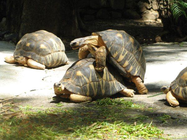 Процесс спаривания черепах