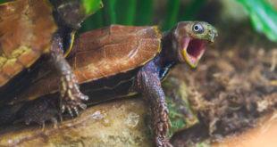 Спаривание черепах
