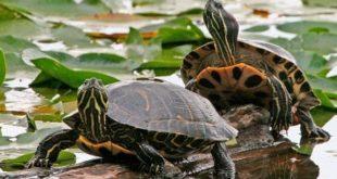 Черепахи сидят в озере на бревне