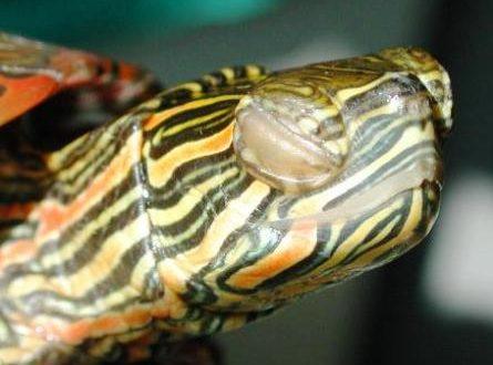 Больные глаза у красноухой черепахи