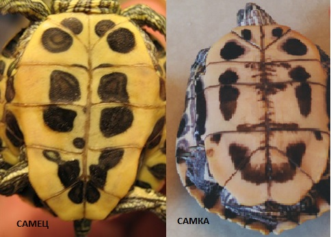 Определение пола красноухой черепахи по панцирю