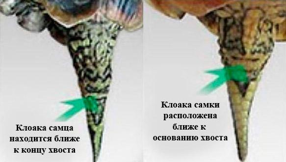 Определение пола красноухой черепахи по расположению клоаки