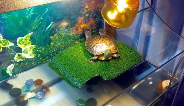 Красноухая черепаха на суше