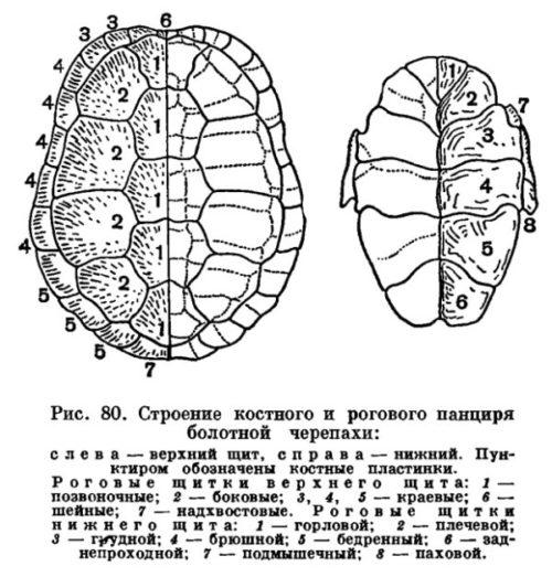 Костные пластины на панцире у черепахи