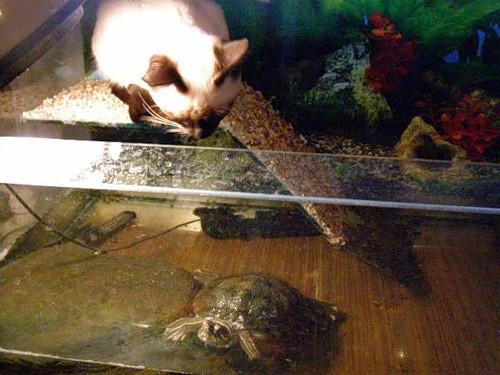 Кот влез в аквариум к черепахе