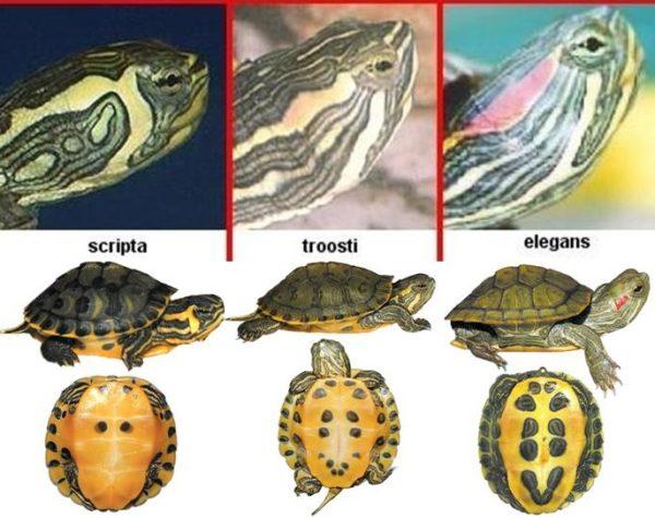 Разновидности красноухих черепах