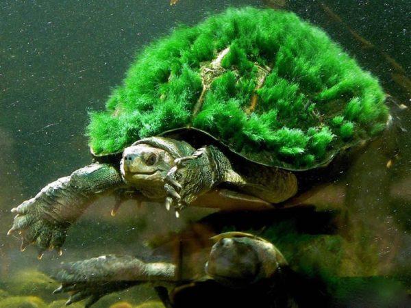 Панцирь зарос водорослями у черепахи